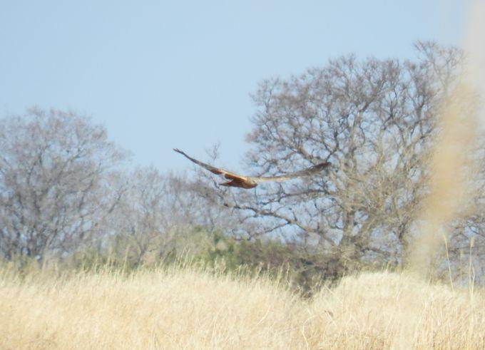 絶滅の心配されるヨシ原の猛禽 チュウヒを探そう