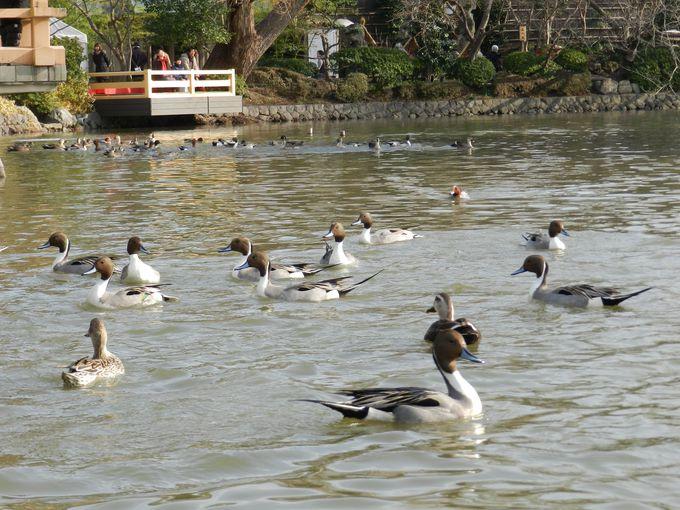 冬の源平池は、この時期ならではの鳥たちでいっぱい!