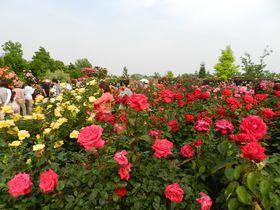 """バラと宿根草の""""混植""""が描く花景観・平塚「花菜ガーデン」"""
