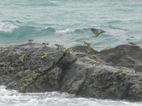 幸せの(?)青い鳥・アオバトが飛来する大磯「照ヶ崎海岸」へ!|神奈川県|トラベルjp<たびねす>