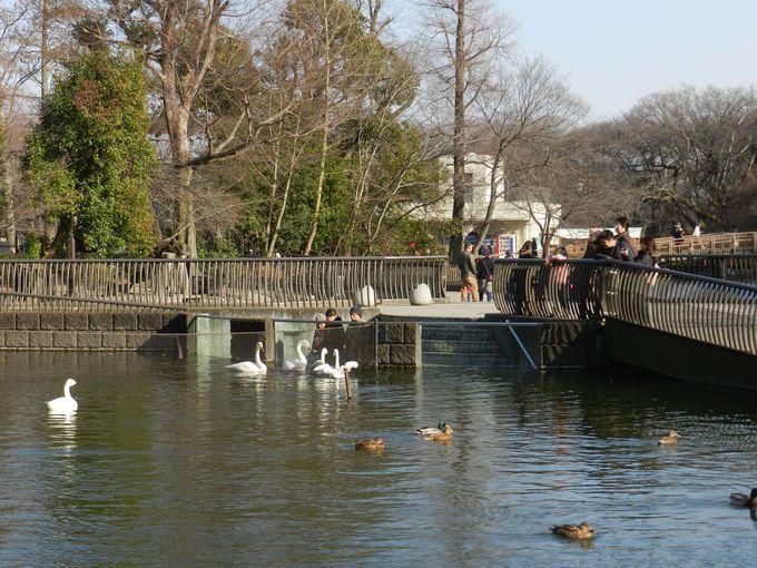 井の頭池と隣接する水場では、ハクチョウが間近に!