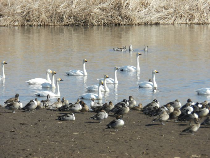 優雅な白鳥は、群れを成して現れる!