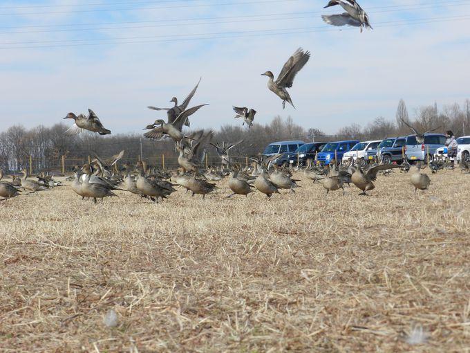 目の前で飛び立つ、水鳥の大群!