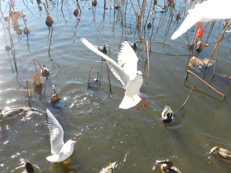 今、あえて歩いてみる。上野恩賜公園・不忍池は水鳥の楽園!