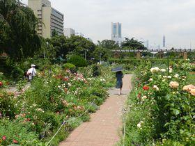 こんなに変わった!「横浜みなとみらい」バラ園めぐり|神奈川県|トラベルjp<たびねす>