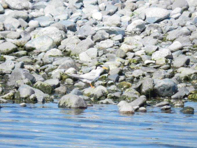 酒匂川のシンボルここにあり! 冬と夏の珍鳥を探そう