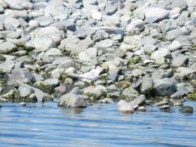 酒匂川の河口(小田原市)は水鳥の名所。思わぬ珍鳥の姿も!|神奈川県|トラベルjp<たびねす>