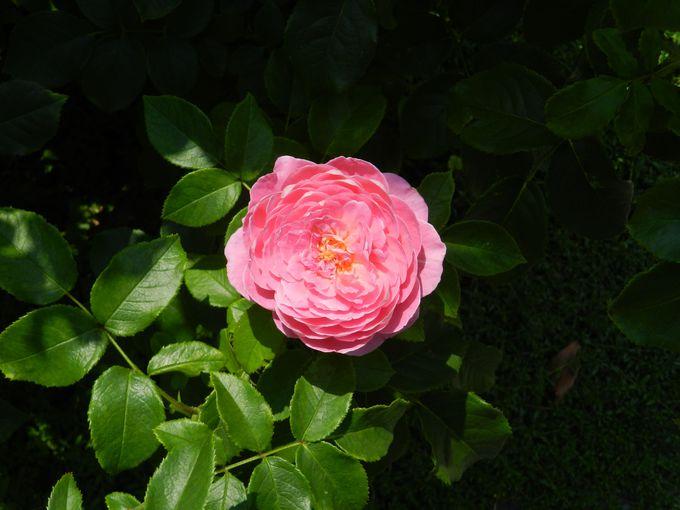バラとユリは、みなとガーデンの華