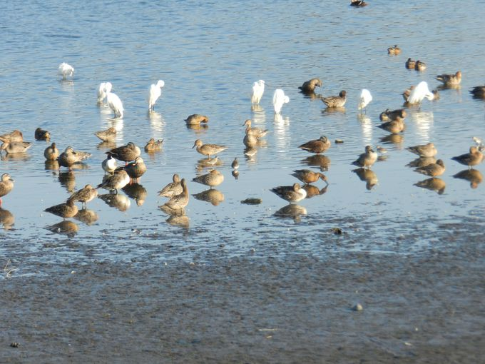 白鳥が来る前に、あえて白鳥飛来地へ(群馬県・多々良沼)