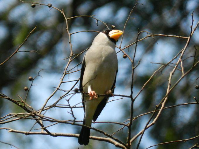江戸・東京の歴史文化と冬の野鳥に出会う「小金井公園」へ