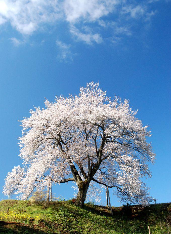 さあ、一本桜に向かいましょう!