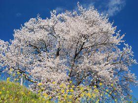 丘の上の一本桜が菜の花と競演!房総の里山で春を満喫する旅