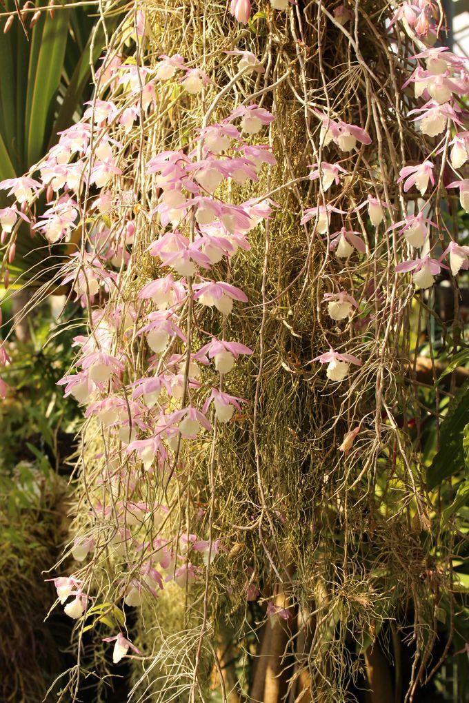 空中で育つ不思議な植物サルオガセキモドキ!熱帯資源植物温室