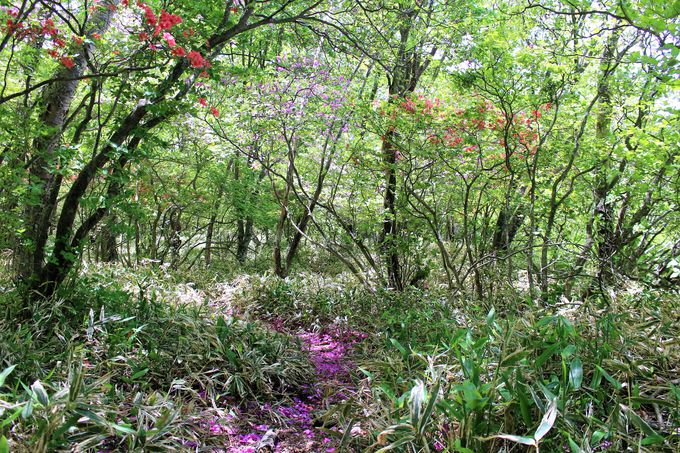 新緑のミズナラ、シラカンバの林に赤と紫のツツジが映える!初夏の小沼とオトギノ森!!