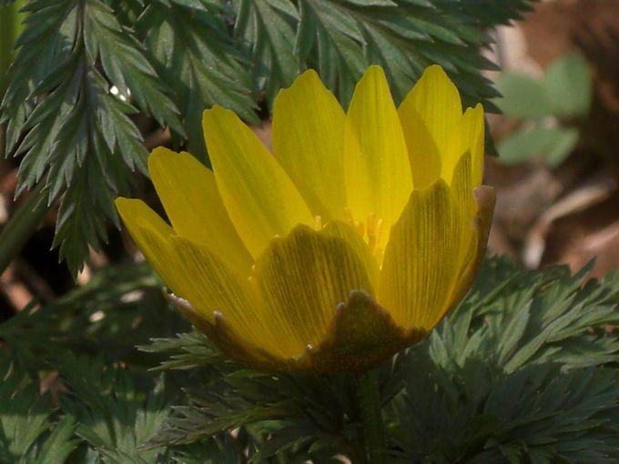 武蔵野植物園に春を告げる、フクジュソウとユキワリイチゲの可憐な花!早春の付属自然教育園