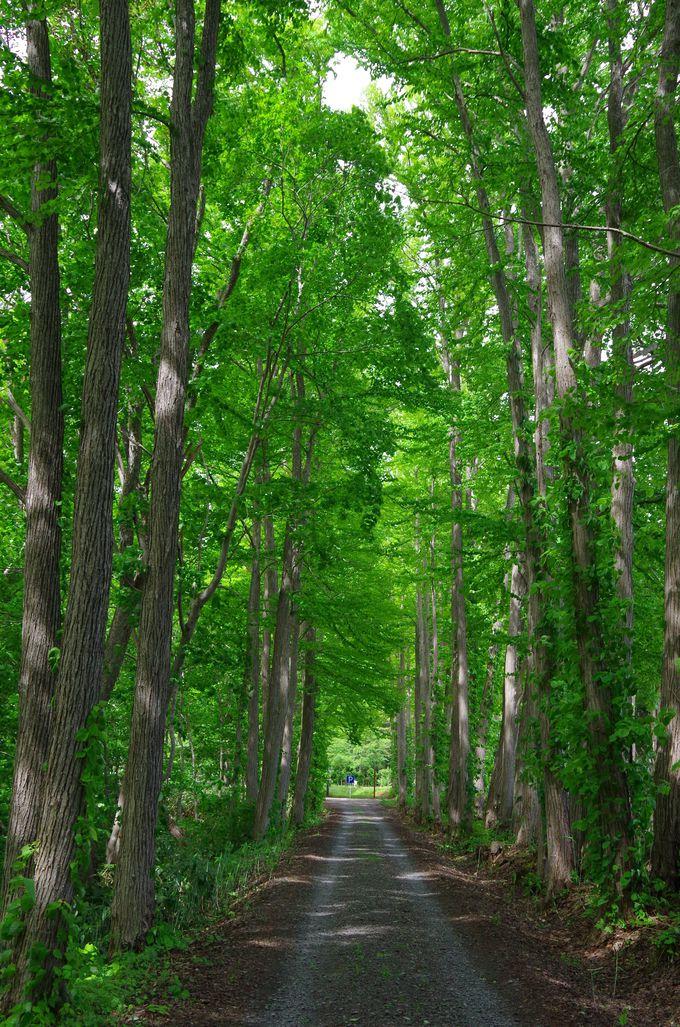 樹木園で並木道をウォーキング