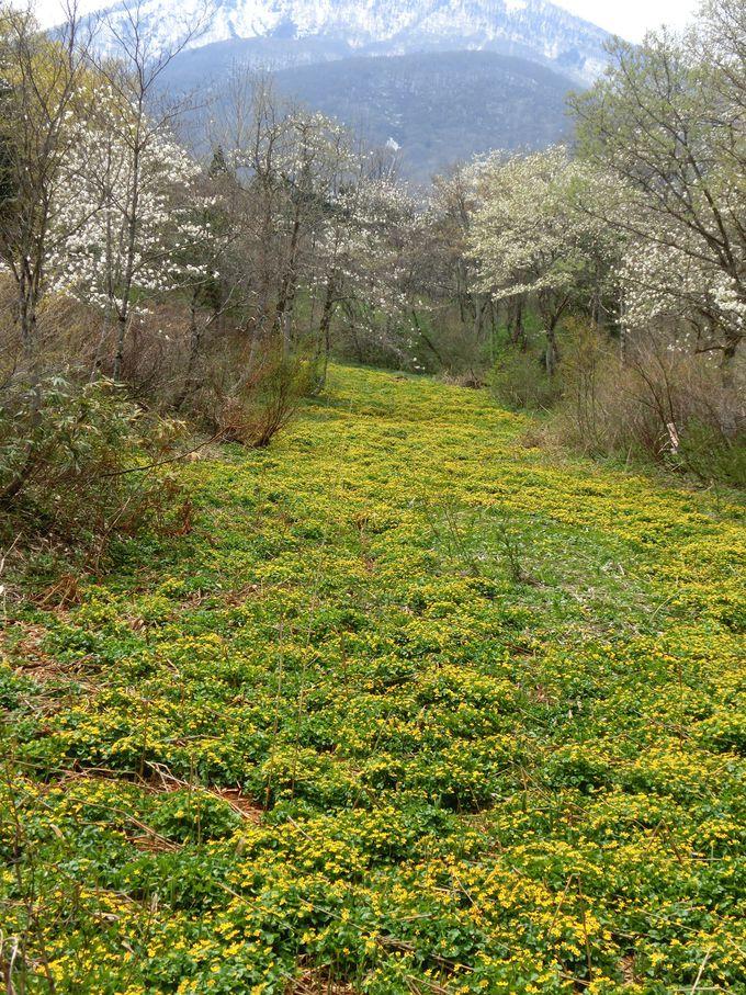 春のリュウキンカとコブシの群生も鮮やか 癒しの「お鹿池」散策コース
