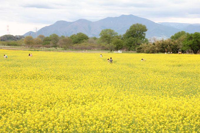 桃色の風景の後には、黄色の風景はいかがですか