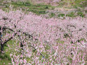 一面に桃の花咲く桃源郷 丹霞郷(たんかきょう)と周辺の花の見どころへ|長野県|トラベルjp<たびねす>