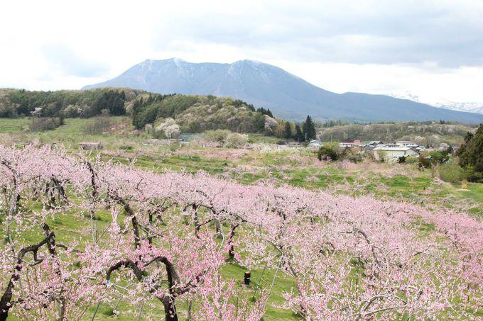 一面に桃の花が咲き広がる桃源郷