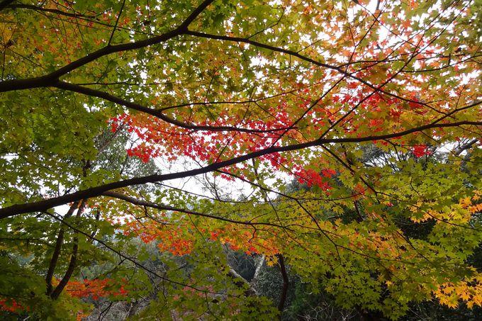 紅葉のレースが境内を美しく彩る・・
