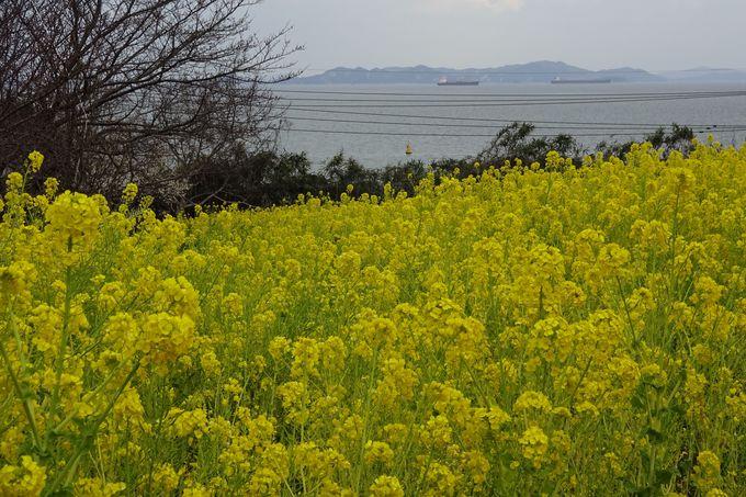 瀬戸内海が望める小高い丘は黄色の絨毯!