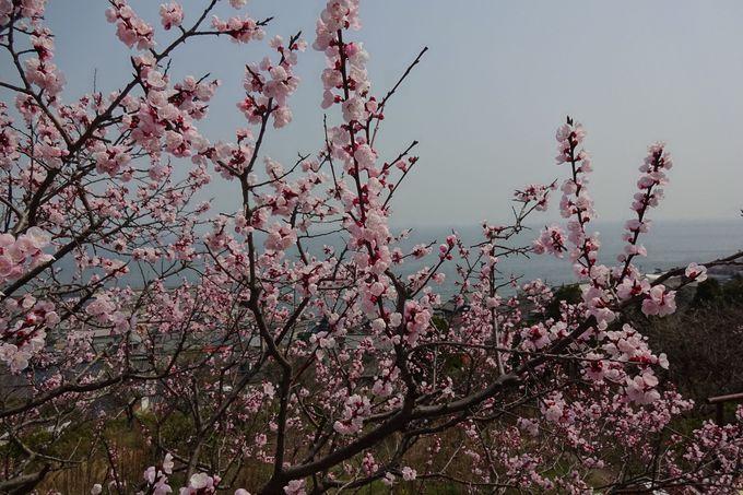 杏の花の隙間から美しい田尻の海が見渡せる・・