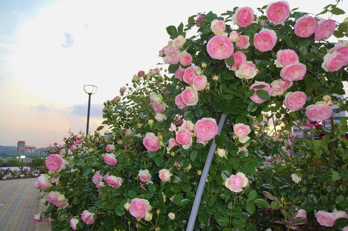芸術家の名前がついた姿も色も珍しいバラに出会える〜緑町公園