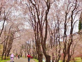 しだれ桜の並木道に感動!広島県「世羅甲山ふれあいの里」|広島県|トラベルjp<たびねす>