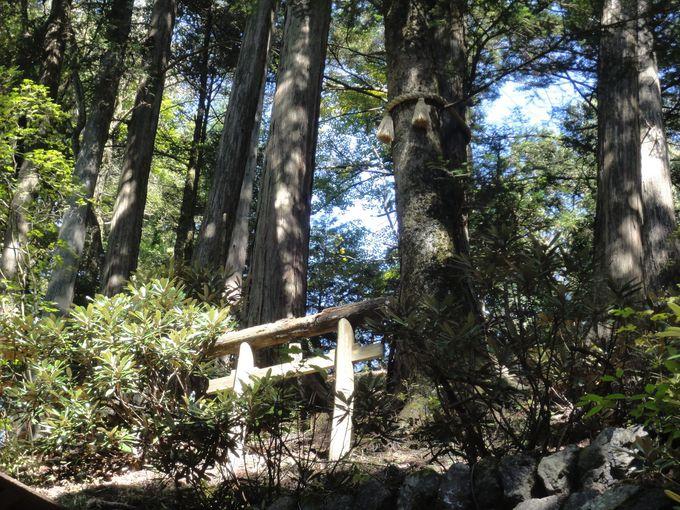 突如現れた「龍神様」、樹齢800年の「拝殿前のご神木」!