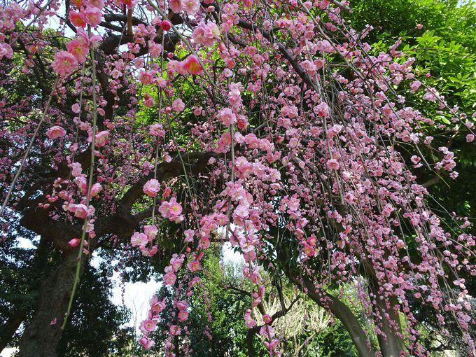 魅力2:梅も枝垂れる…!?「しだれ梅」も見事