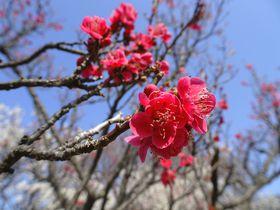 大陶器市にパワースポットも!埼玉「大宮公園 梅まつり」の魅力|埼玉県|トラベルjp<たびねす>