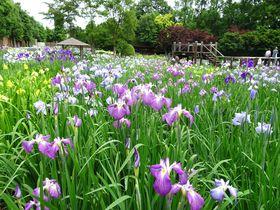 6月だけ開園のオアシス!埼玉「染谷花しょうぶ園」で花菖蒲を愛でよう|埼玉県|トラベルjp<たびねす>