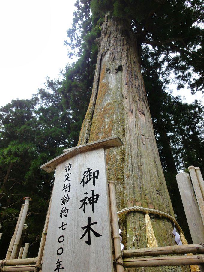 「中社」樹齢700年以上!の御神木