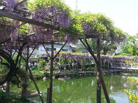 4月下旬から見頃!「亀戸天神社の藤まつり」5つの見どころ|東京都|トラベルjp<たびねす>