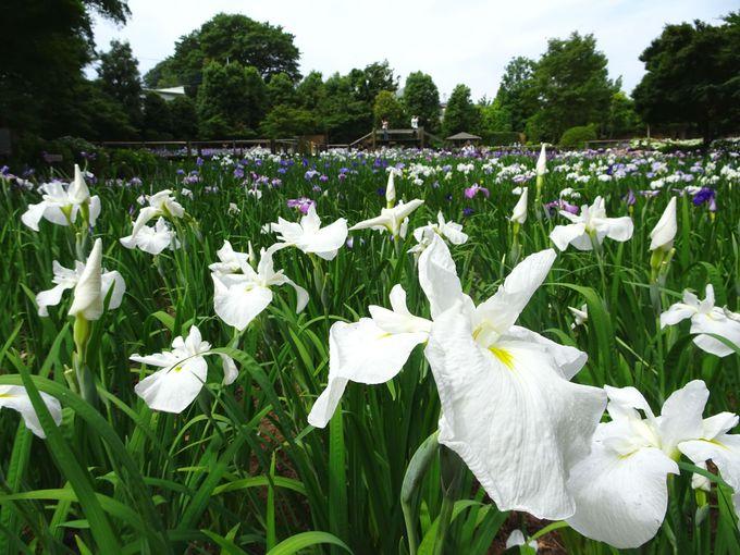 埼玉県一を誇る。約200種、2万株の花菖蒲!