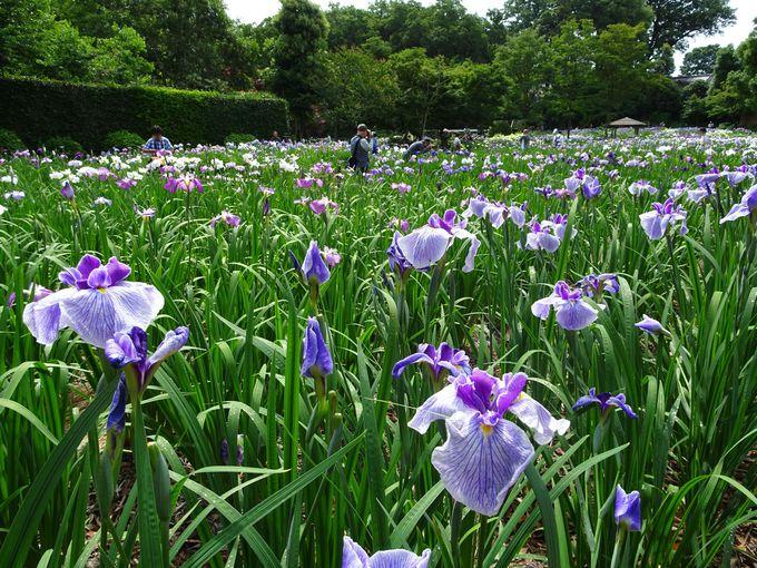 カメラ愛好家を魅了する、フォトジェニックな花しょうぶ園