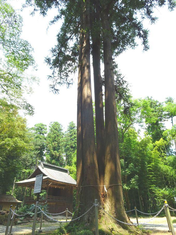 境内にある木にも注目!「日本最大の広葉杉」