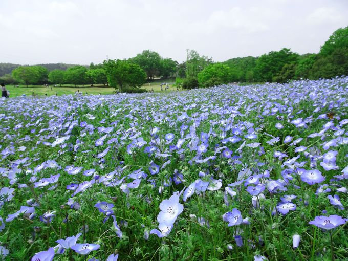 2016年に登場したばかりの、ブルーが美しい「ネモフィラ畑」