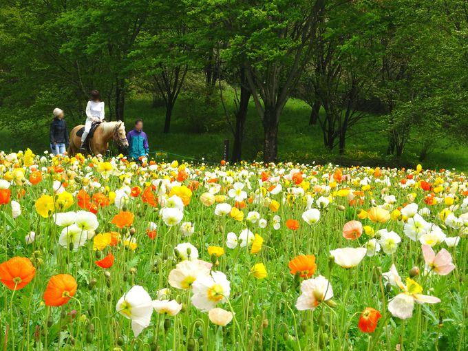 4月下旬から5月上旬が見頃! 「アイスランドポピー畑」