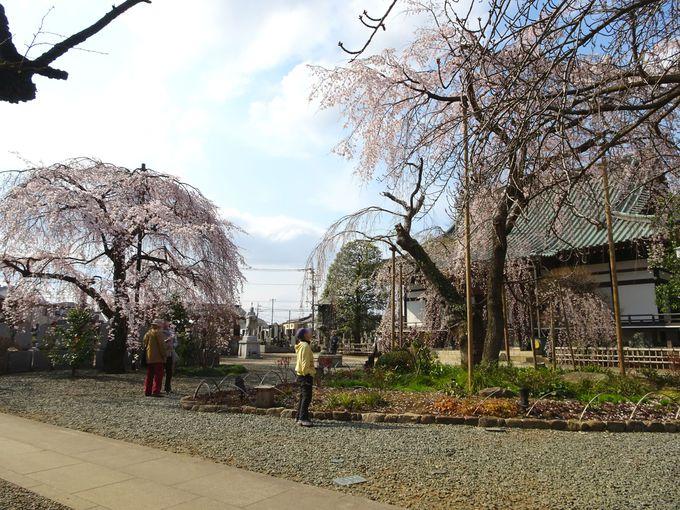 しだれ桜×しだれ梅のコラボレーションも!