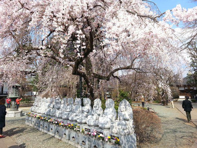 色々な角度から、しだれ桜を愛でよう!