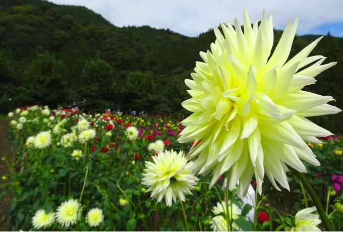 300種類5000株のダリアが魅了!「両神山麓 花の郷 ダリア園」