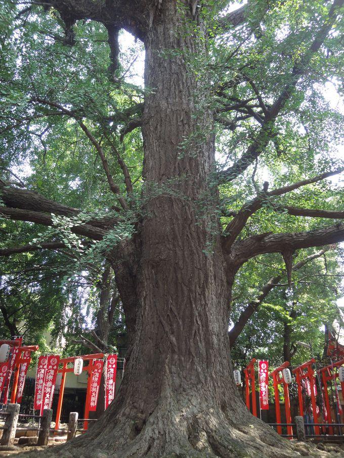 樹齢約700年! 雄株の大公孫樹は「子授け銀杏」
