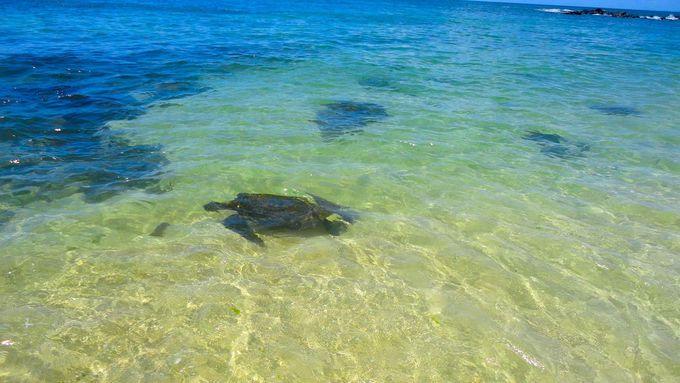 「ラニアケアビーチ」でウミガメ鑑賞
