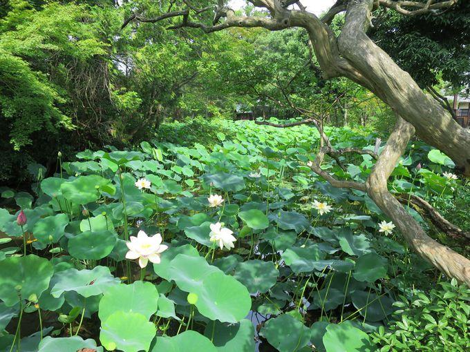 蓮池の見頃・開花時間