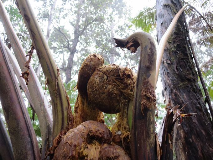 ハワイ固有種の巨大シダ「ハプウ」と新芽「カクマ」