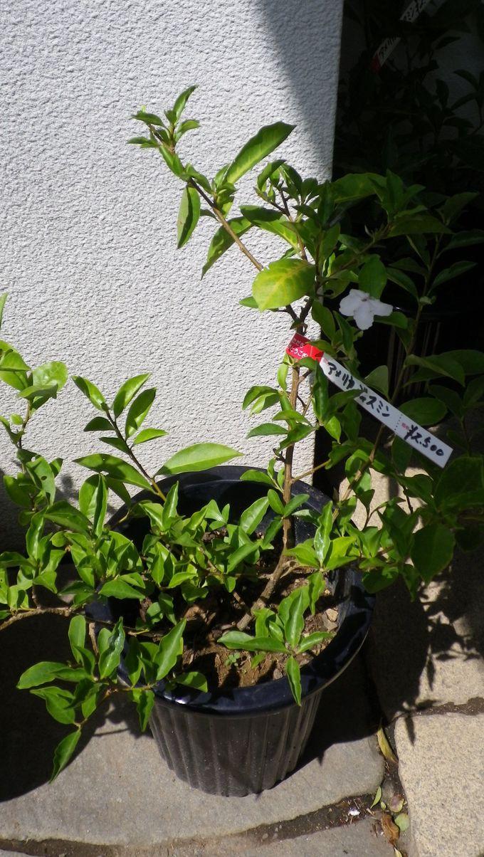 アメリカンジャスミンの鉢植え