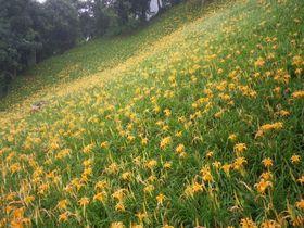 目と口で味わう「金針花」を見に行こう!台湾・台中