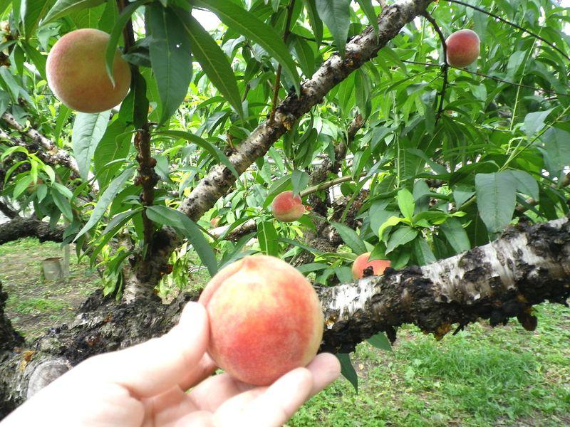 台湾台中でフルーツ狩り!一年中果物が楽しめる「新蜂農場」